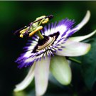 Passion Flower Passiflora Caerulea 10 seeds Tropical Climbing Vine Fruit *SHIPPING FROM US* CombSH