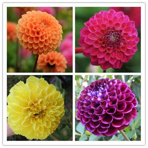 Dahlia Pompon Mix 10seeds*Dahlia Variabilis*Cut Flower *Easy grow* Annual *SHIPPING FROM US* CombSH