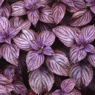 50 Purple Shiso seeds Japanese Basil / Perilla frutescens * herb * Combine S/H