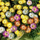 Ice Plant Mixed Color 2000 seeds mesembryanthemum *LIVINGSTONE DAISY* *SHIPPING FROM US* CombSH B71