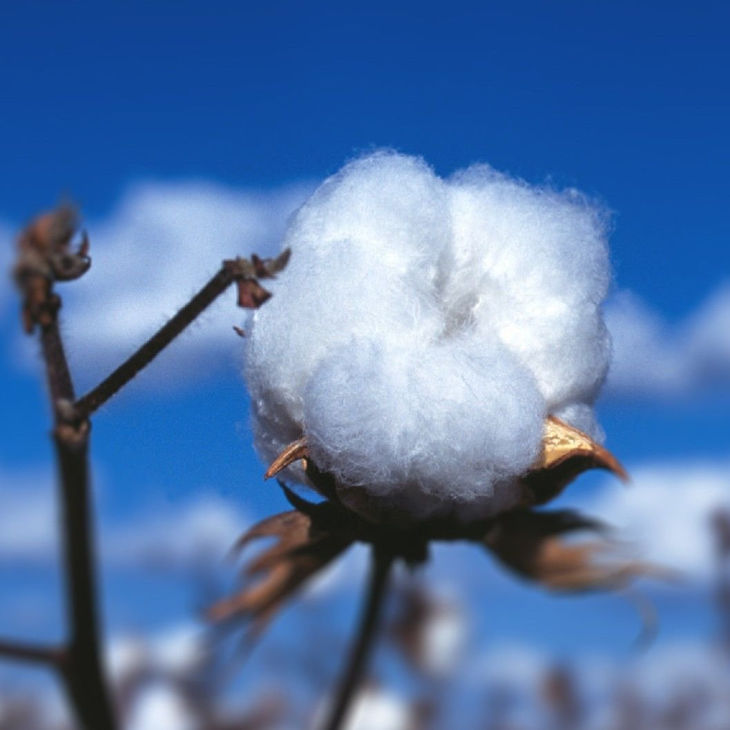 10 White Cotton seeds * Fun * Kid love it * Easy grow * *SHIPPING FROM US* CombSH C77