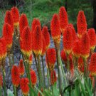 Red Hot Poker Uvaria Mix 25 seeds  *SHIPPING FROM US* CombSH A64