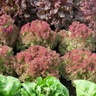 Lettuce Mix Lactuca sativa 3000 seeds * NON GMO * ez grow * *SHIPPING FROM US* CombSH G31