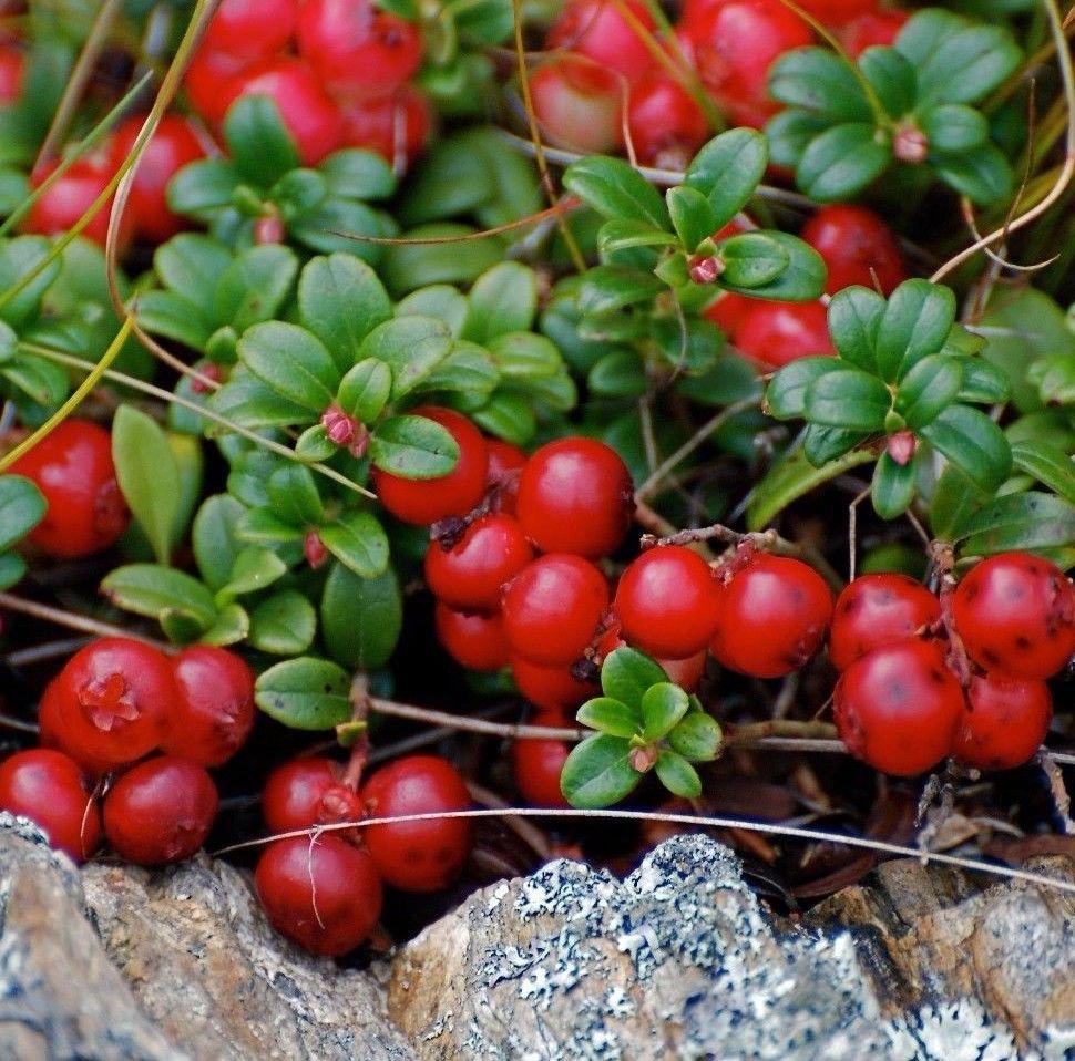 Mountain Cranberry 50 seeds Vaccinium Vitis-idaea * Wild Fruit * Edible Comb I62