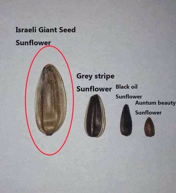Israeli Giant Seeded Sunflower 25 seeds * Giant seeds * Edible *SHIPPING FROM US* CombSH J33