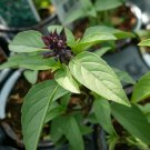 Thai Basil 250 seeds Heirloom NON-GMO Fragrant Herb From USA *SHIPPING FROM US* CombSH E23