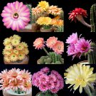 Echinopsis hybrid mix 10 seeds * Fragrant * Cactus * Huge Showy Flower * *SHIPPING FROM US* CombSH