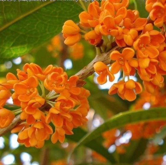 Red Sweet Olive - Osmanthus fragrans 5 seeds fragrant *SHIPPING FROM US* CombSH K41