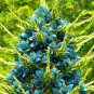 SAPPHIRE TOWER Puya alpestris 10 SEEDS exotic* unusual *eye catching* *SHIPPING FROM US* CombSH