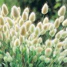 Bunny Tails Lagurus Ovatus 25 seeds * Adorable Ornamental grass * *SHIPPING FROM US* CombSH E37