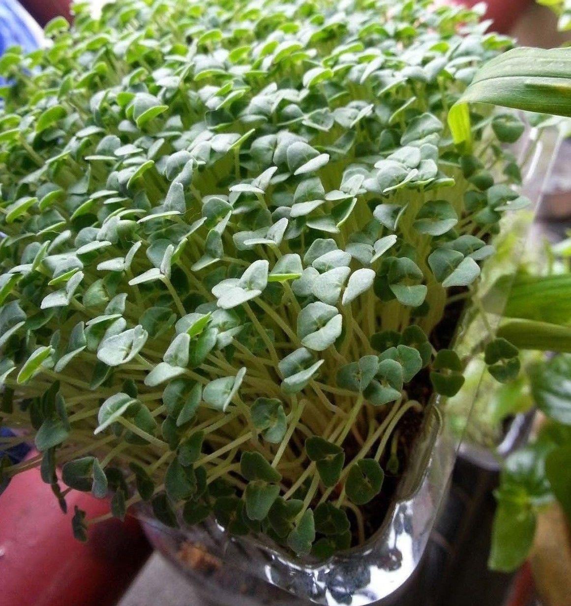 Chia Salvia hispanica 1000 seeds * Non GMO * ez grow * *SHIPPING FROM US* CombSH E24