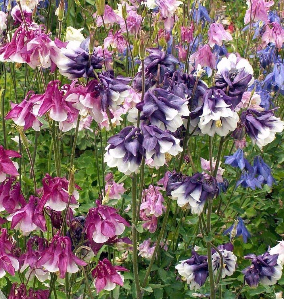 Dwarf Columbine mix color Aquilegia vulgaris 250 seeds *  *SHIPPING FROM US* CombSH I34
