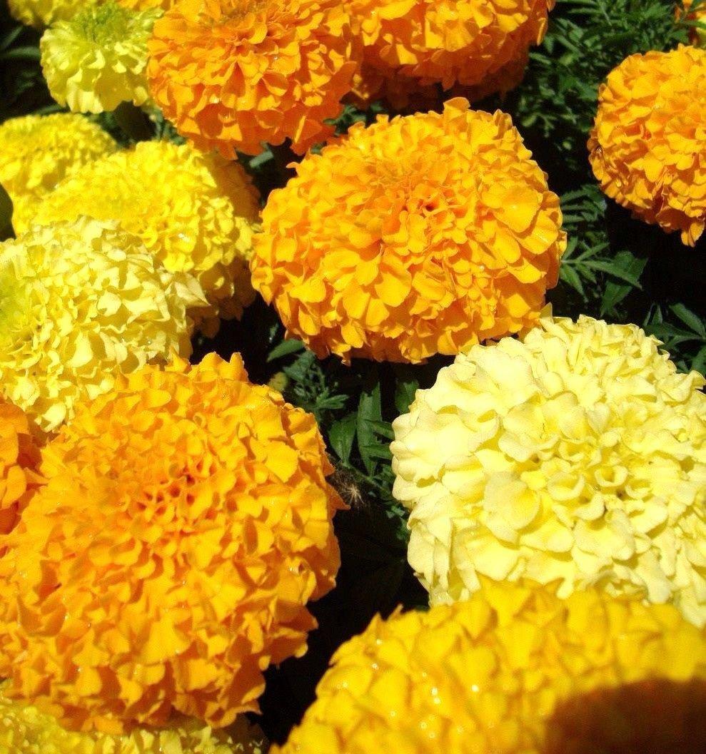 African Marigold Crackerjack mix 250 seeds Tagetes erecta *Garden Border* *SHIPPING FROM US* CombSH