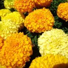 African Marigold Crackerjack mix 250 seeds Tagetes erecta *Garden Border* *SHIPPING FROM US* CombSH