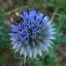 Globe Thistle  ( Echinops ritro )  10 seeds * cut flower * ez grow * *SHIPPING FROM US* CombSH A31