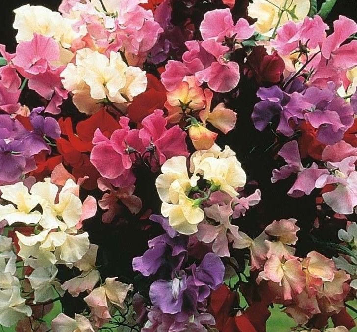 Sweet Pea Royal Family Mix 50 seeds *Colorful * Easy Grow *Fragrant* *SHIPPING FROM US* CombSH G22
