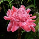 Pink Torch Ginger Etlingera elatior 5 seeds* Exotic * Showy *SHIPPING FROM US* CombSH