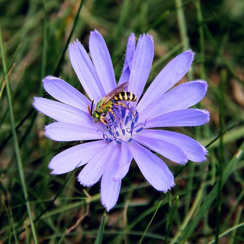 Chicory - Chicorium Intybus 1000 seed s* coffee substitute *SHIPPING FROM US* CombSH