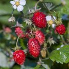 Wild Strawberry 50 seeds Fragaria Vesca Easy grow * Hardy* *SHIPPING FROM US* CombSH I41