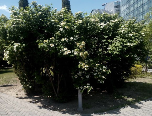 25 + European cranberry bush seeds (Viburnum opulus) Ornamental Shrub *SHIPPING FROM US* CombSH I81