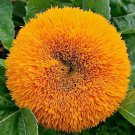 Sunflower Dwarf Teddy Bear 50 seeds * HEIRLOOM * Cute Garden Flower * *SHIPPING FROM US* CombSH J22