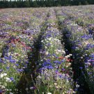 1000 Bachelor button 'Dwarf Polka Dot mix' CORNFLOWER seeds Colorful CombSH F11