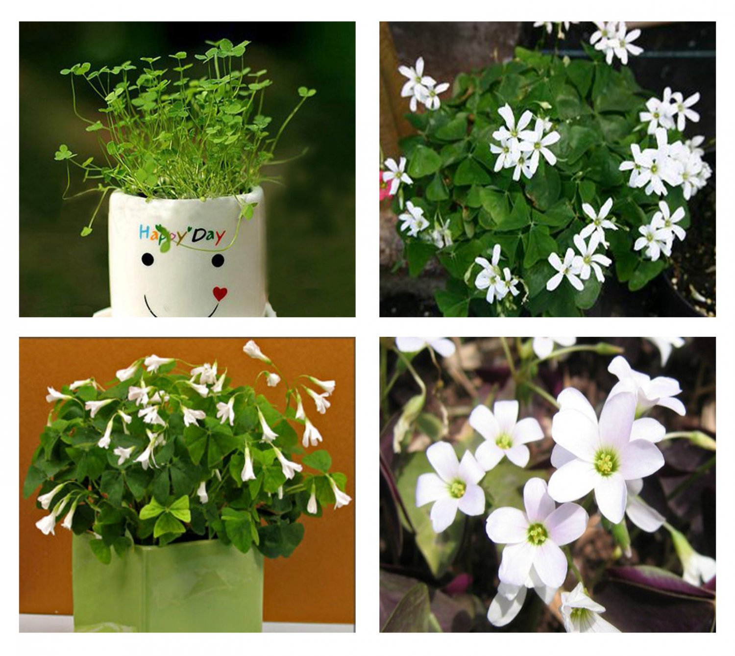 Lucky Green Shamrock- Oxalis Regnelli Bulbs * Easy Grow * Perennial * *SHIPPING FROM US* CombSH B24