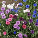 500 Cornflower Tall Mix  (Centaurea cyanus) seeds Colorful CombSH M33