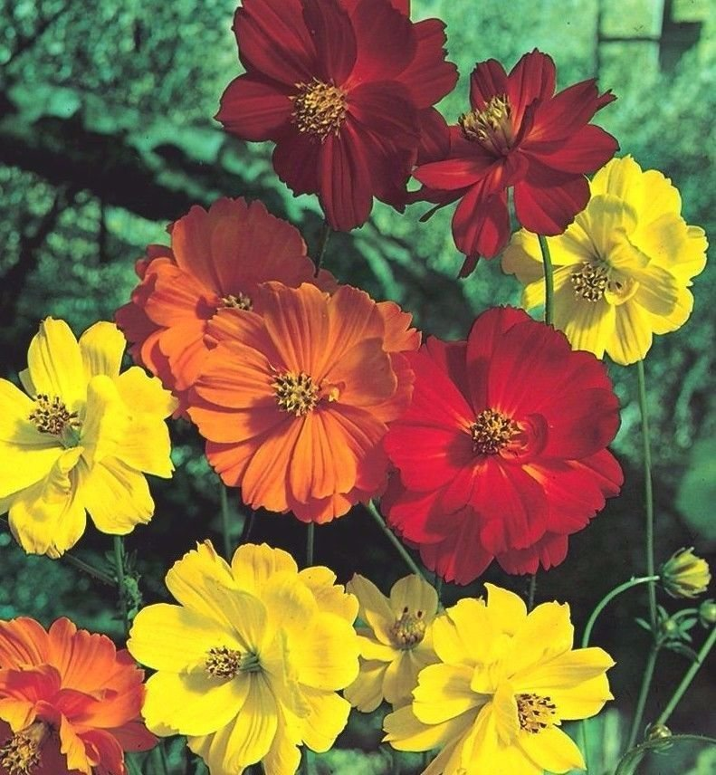 Dwarf Sulfur Cosmos Mix 250 seeds  Cosmos sulphureus * border *garden *SHIPPING FROM US* CombSH K33