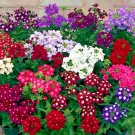 Verbena Ideal Florist Mix 100 seeds  Garden Flower *SHIPPING FROM US* CombSH I44