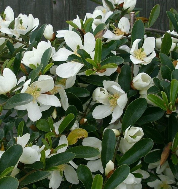 10 Michelia yunnanensis seeds * Very Fragrant * Shrub Evergreen *SHIPPING FROM US* CombSH