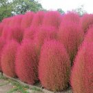 KOCHIA SCOPARIA burning bush 2500 seeds Exotic * Ornamental * easy grow * *SHIPPING FROM US* CombSH