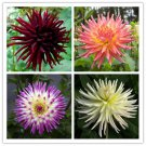 Dahlia Cactus Mix 25 seeds * Cut Flower * Easy grow * *SHIPPING FROM US* CombSH A62