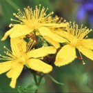 St. John's Wort ( Hypericum Perforatum ) 1000 seeds anti depression herb  *SHIPPING FROM US* CombSH