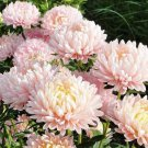 Aster Tall Paeony Apricot 100 seeds * Cut flower * Gorgeous * *SHIPPING FROM US* CombSH D57