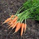 Little finger carrot 1500 seeds * NON GMO * ez grow * I11