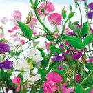 50 Sweet Pea , Knee High Mix seeds *Colorful * Easy Grow *Fragrant* *SHIPPING FROM US* CombSH K13