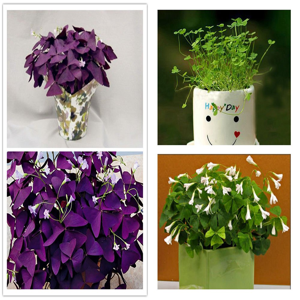 Oxalis regnelli and Oxalis triangularis Collection  Separately bagged *SHIPPING FROM US* CombSH
