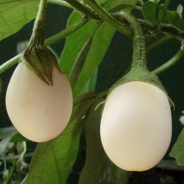 Easter Eggplant Solanum ovigerum 50 seeds * NON GMO * *SHIPPING FROM US* CombSH D63