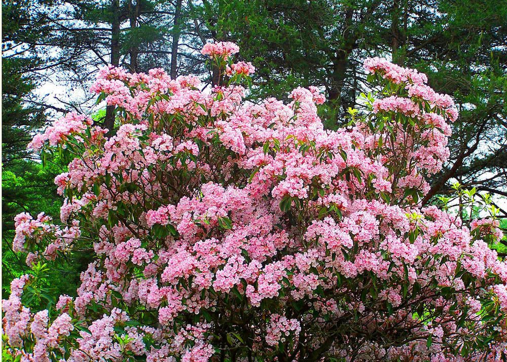 100 Mountain Laurel seeds �Kalmia latifolia�Ornamental ,showy ,shrub,Tree *SHIPPING FROM US* CombSH
