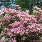 100 Mountain Laurel seeds (Kalmia latifolia)Ornamental ,showy ,shrub,Tree *SHIPPING FROM US* CombSH