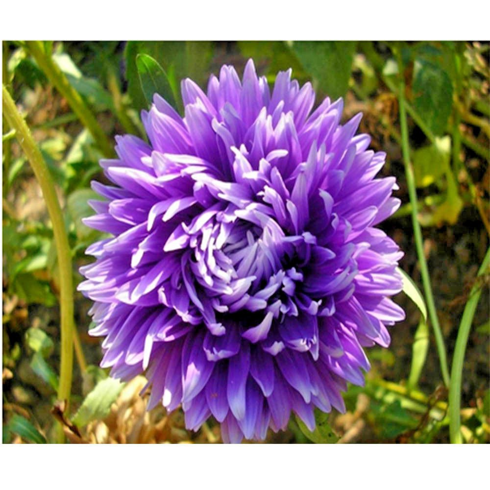 50 Aster seeds ( Callistephus Tall Double Gremlin Lavender Blue ) *SHIPPING FROM US* CombSH D65