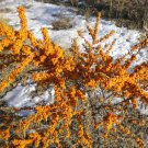 50 Sea Buckthorn seeds / Hippophae rhamnoides  Edible, Hardy, Showy *SHIPPING FROM US* CombSH M16