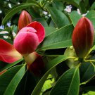 10 Red Lotus Tree seeds Manglietia insigni * Fragrant * Ornamental *SHIPPING FROM US* CombSH M62