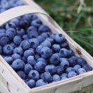 Sweet Blueberry 50 seeds Shortbush Edible  Combine S/H I52