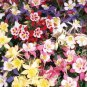 Columbine Mckana's giant mix color Aquilegia vulgaris 250 seeds * *SHIPPING FROM US* CombSH A84