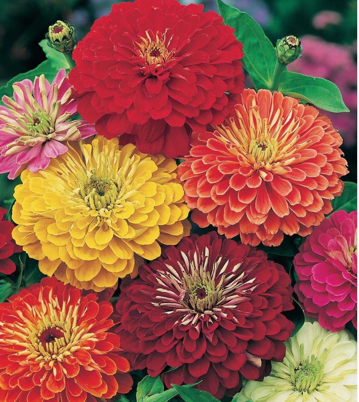 Zinnia California Giant Mix 250 seeds * Cut Flower * Beautiful * *SHIPPING FROM US* CombSH K32