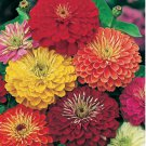 Zinnia California Giant Mix 250 seeds * Cut Flower * Beautiful * *SHIPPING FROM US* CombSH K32