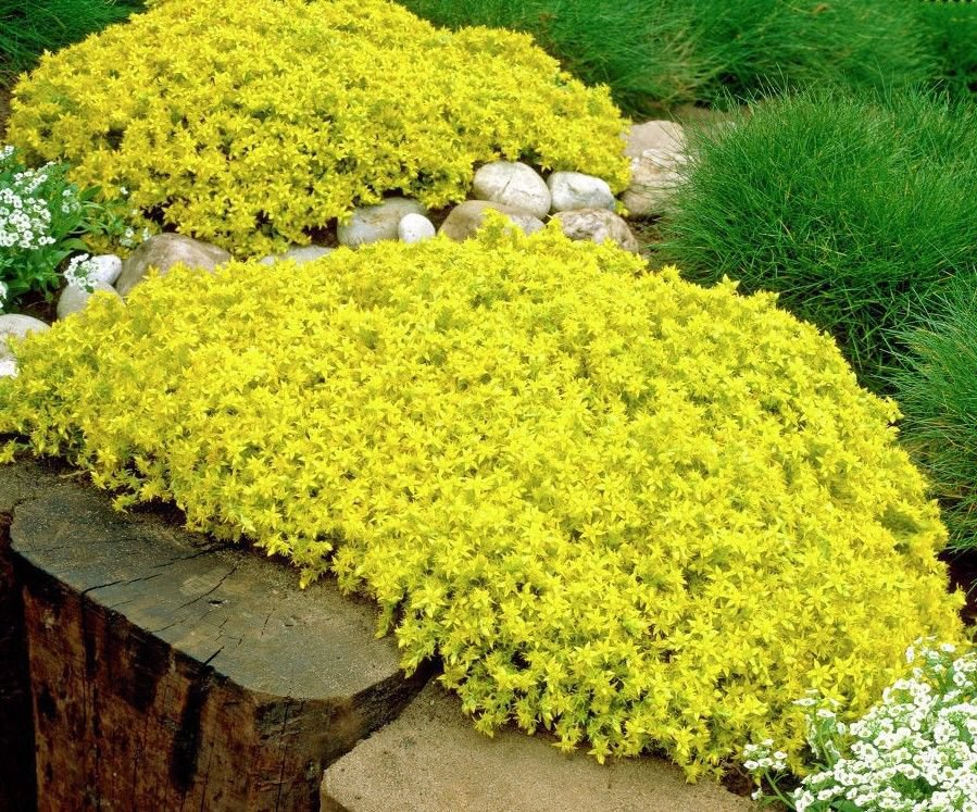Sedum Golden Carpet 100 seeds *succulents excellent ground cover  *SHIPPING FROM US* CombSH D47