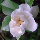 Cape Jasmine Gardenia * Fragrant * 500 seeds White Shrub Flower *SHIPPING FROM US* CombSH B26